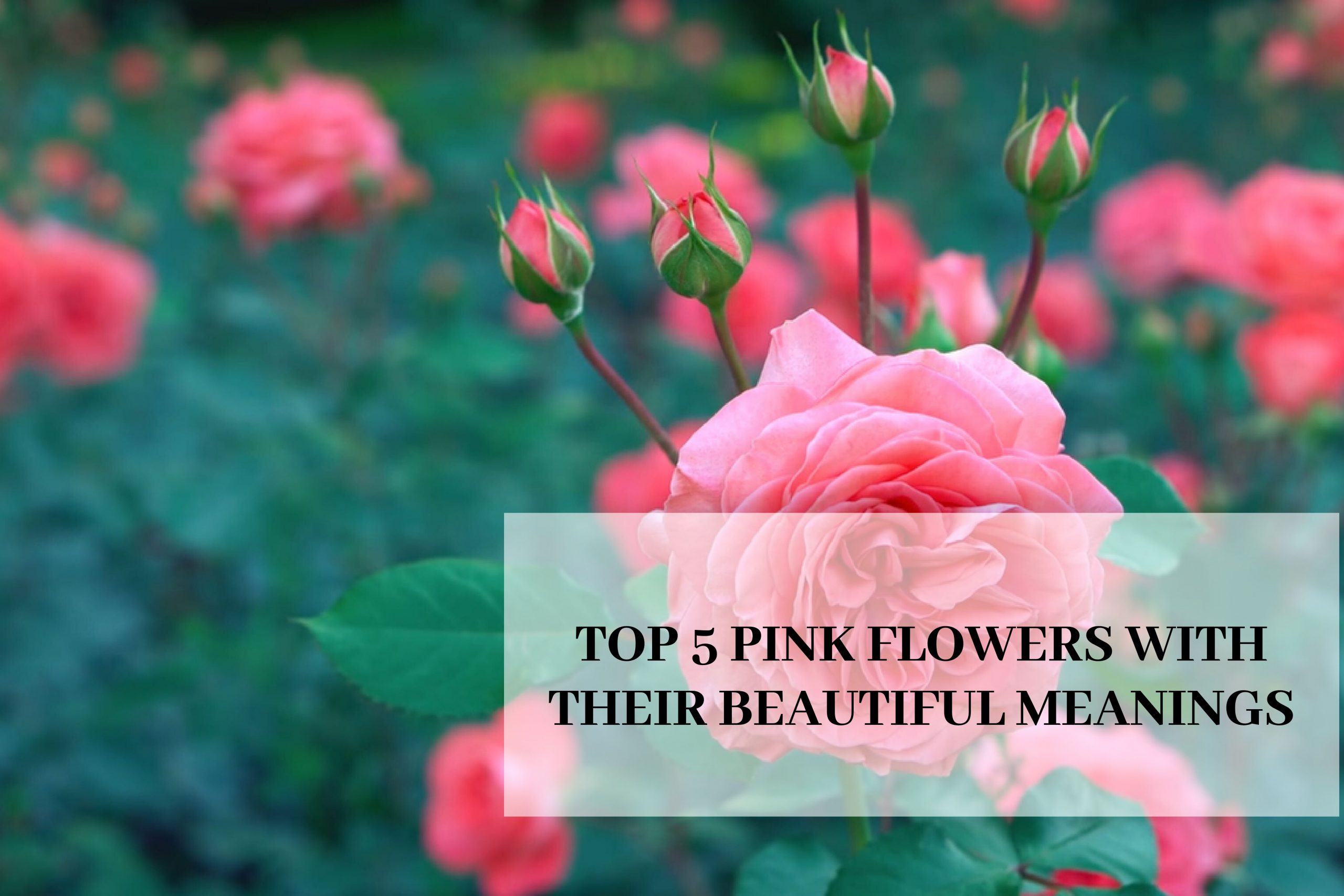 Top 5 Pink Flowers with their Beautiful Meanings